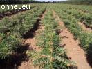 Sadenice borovíc extra dánsky Nordmanniana