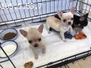 Chihuahua Dogs and Puppies for sale