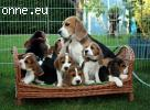 Absolutely stunning top quality beagle puppies