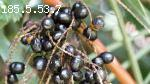 Saw Palmetto Herbal remedy for healthy life | Roncuvita