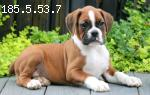 Adorable registered Boxer puppies for sale