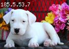 Well socialized dogo argentino puppies Available