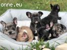 Quality French Bulldog Puppies.